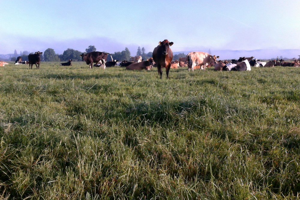 Dairy cows resting at pasture at Sar-Ben Farm.