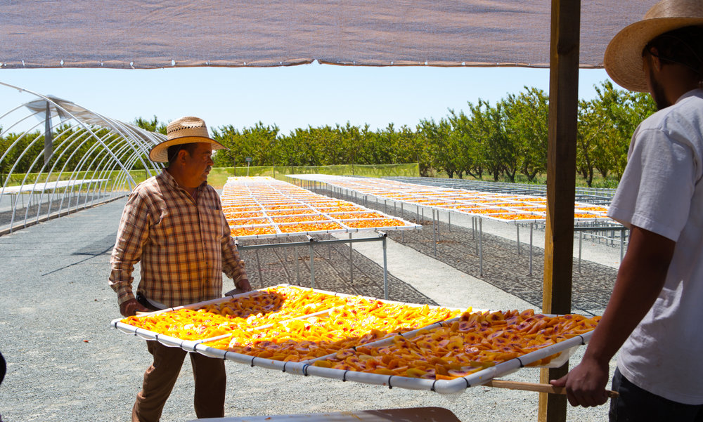 Moving freshly cut imperfect peaches to the drying station
