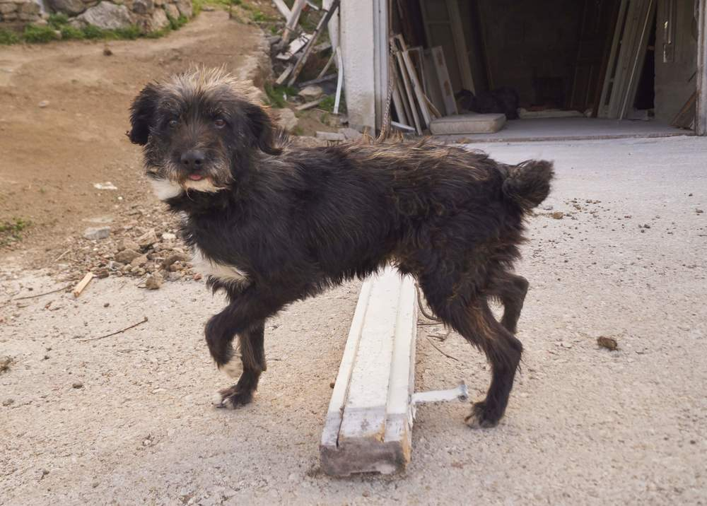 Simba - griffon mix | Mykonos dog rescue and adoption
