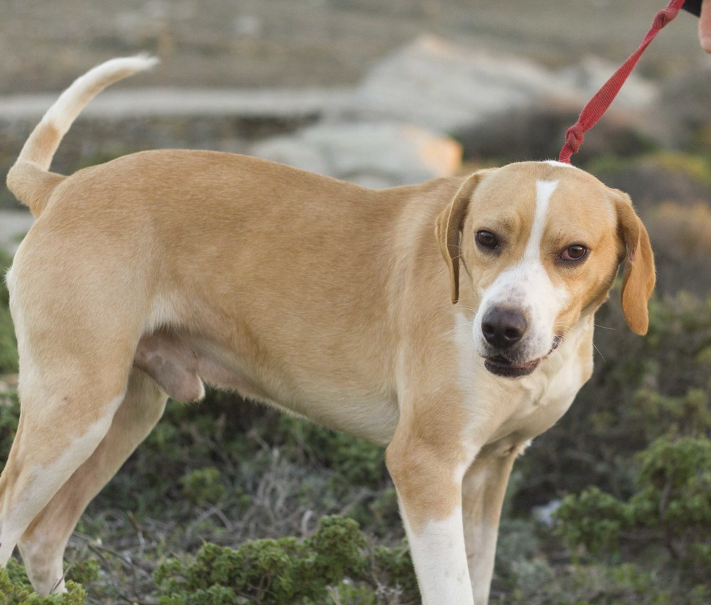 Coneli mix | Mykonos dog rescue and adoption