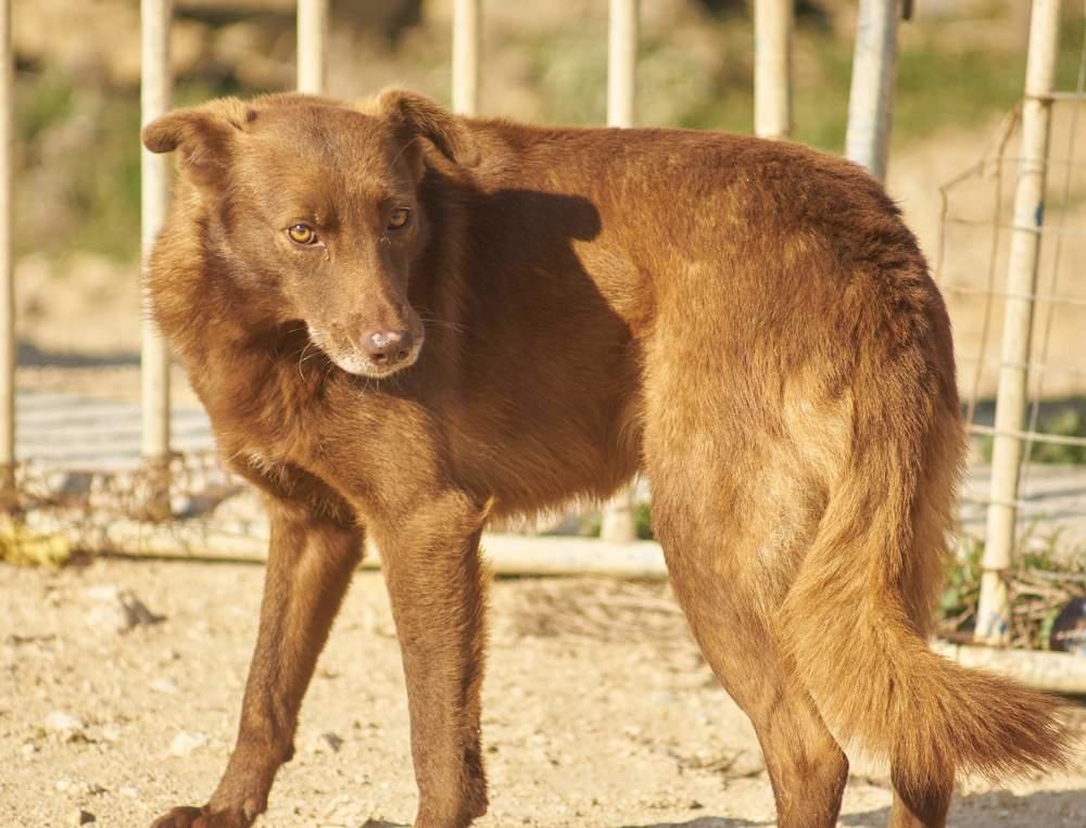 Kanela Alastian mix | Mykonos dog rescue and adoption
