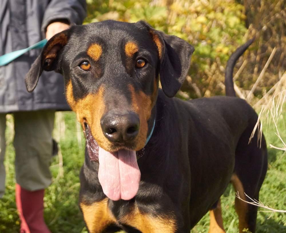 Yorgakis Doberman mix | Mykonos dog rescue and adoption | Pat Destein