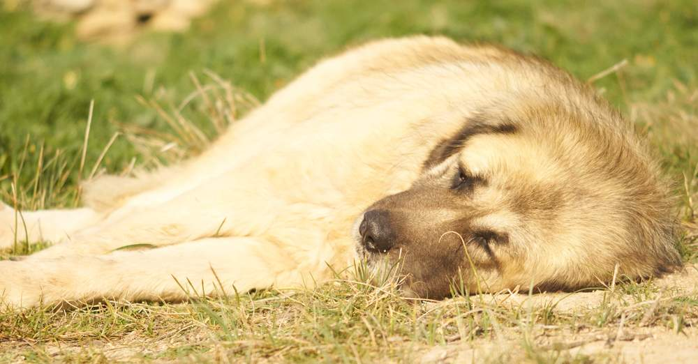 Mamacita Caucasian Sheep Dog | Mykonos dog rescue and adoption | Delphine Limbourg