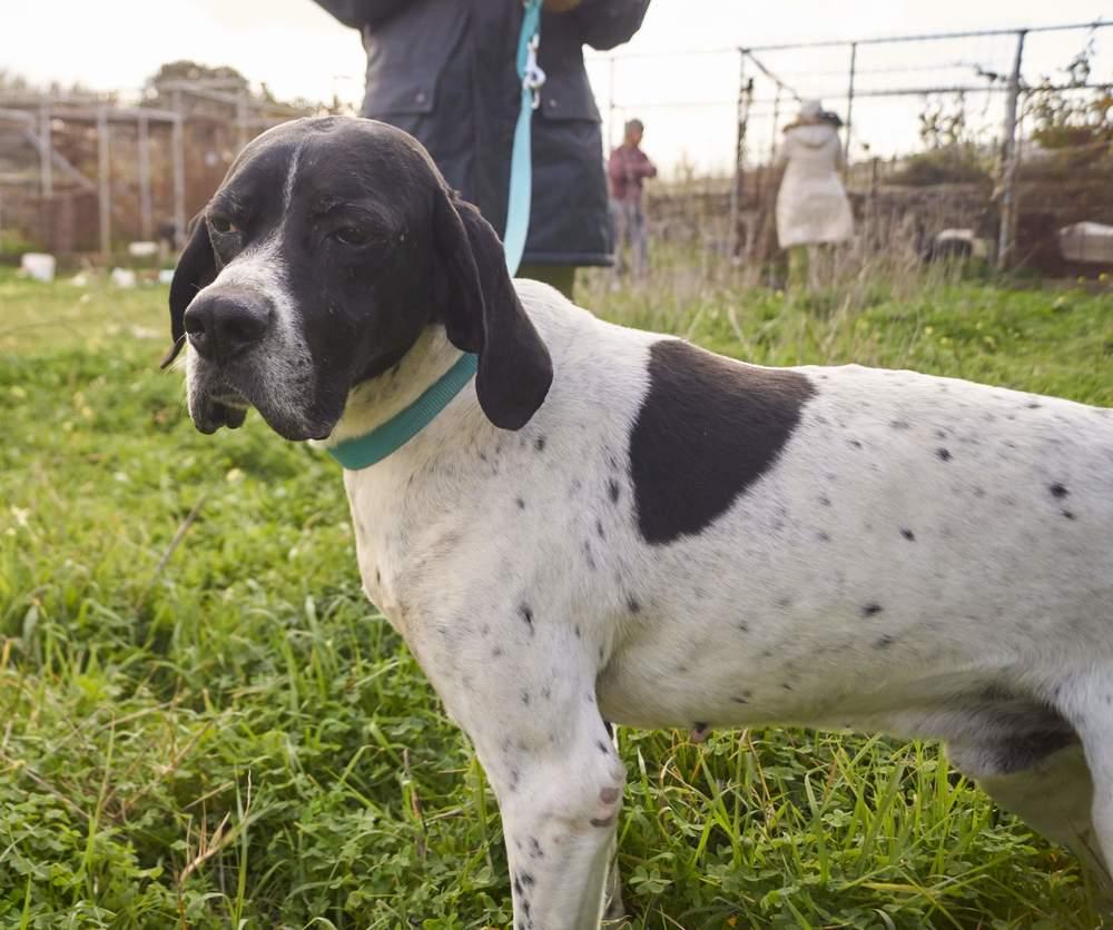 Pointerakos purebred pointer hunting dog | Mykonos dog rescue and adoption | Evie Rossopoulou | Koray User