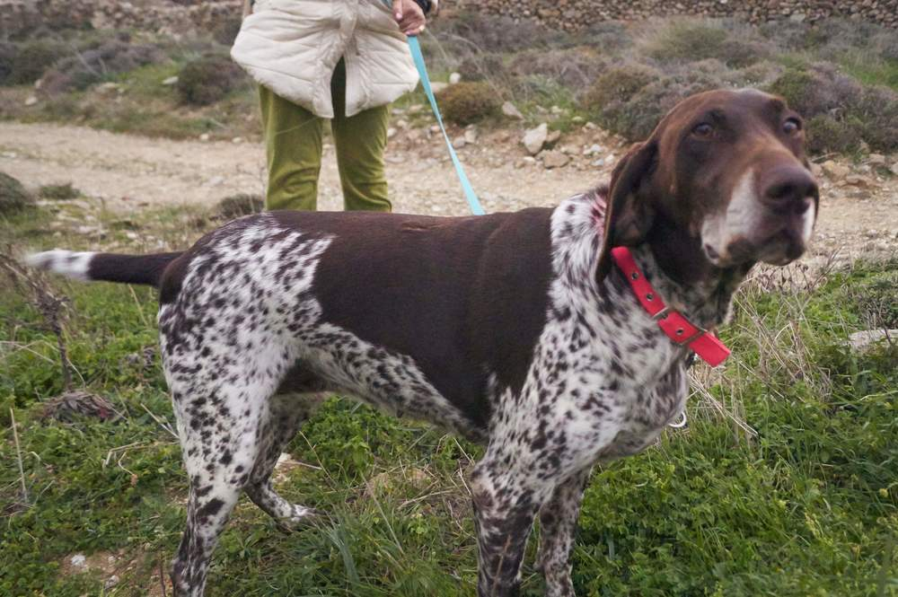 Victoria purebred hunting dog Kutcha | Mykonos dog rescue and adoption | Kelly Noguerol