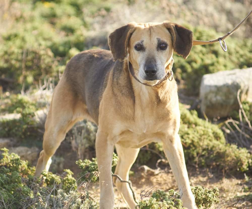 Aroula hunting dog mix | Mykonos dog rescue and adoption | Olympia Vasileiou
