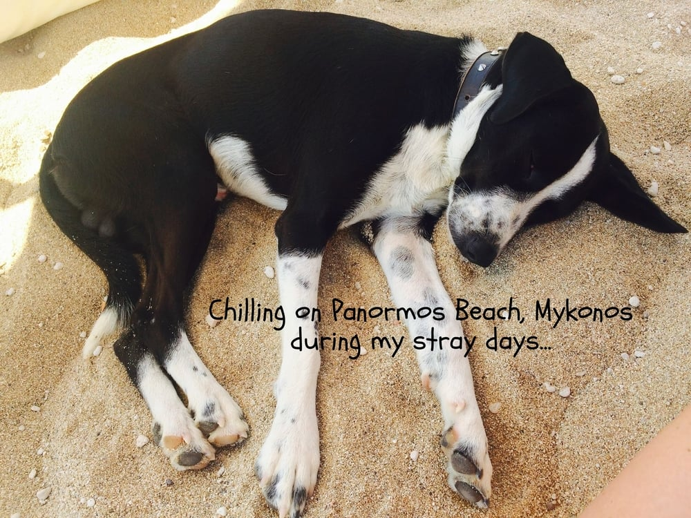 Myko mix | Mykonos dog rescue and adoption | Heather Belizzi