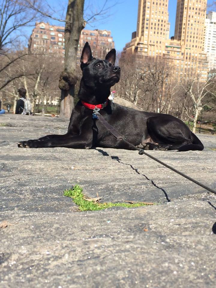 Nico Taiwanese Mountain Dog   Mykonos dog rescue and adoption   Dimitris Athos