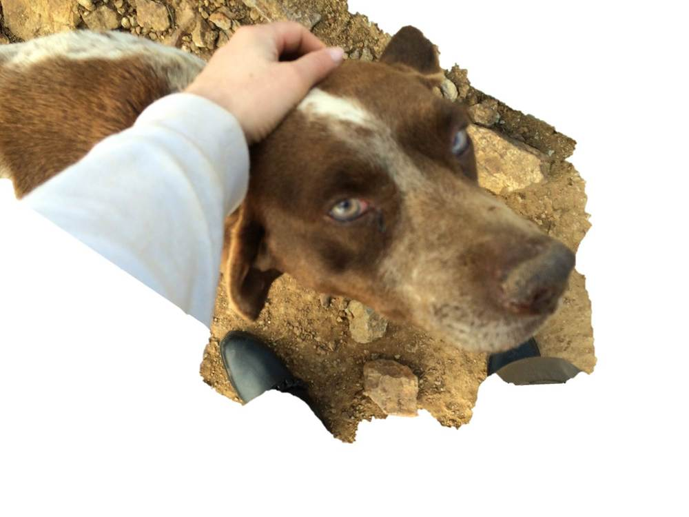 Doggie French Drag breed hunting dog | Mykonos dog rescue and adoption | Hafssa Serraj
