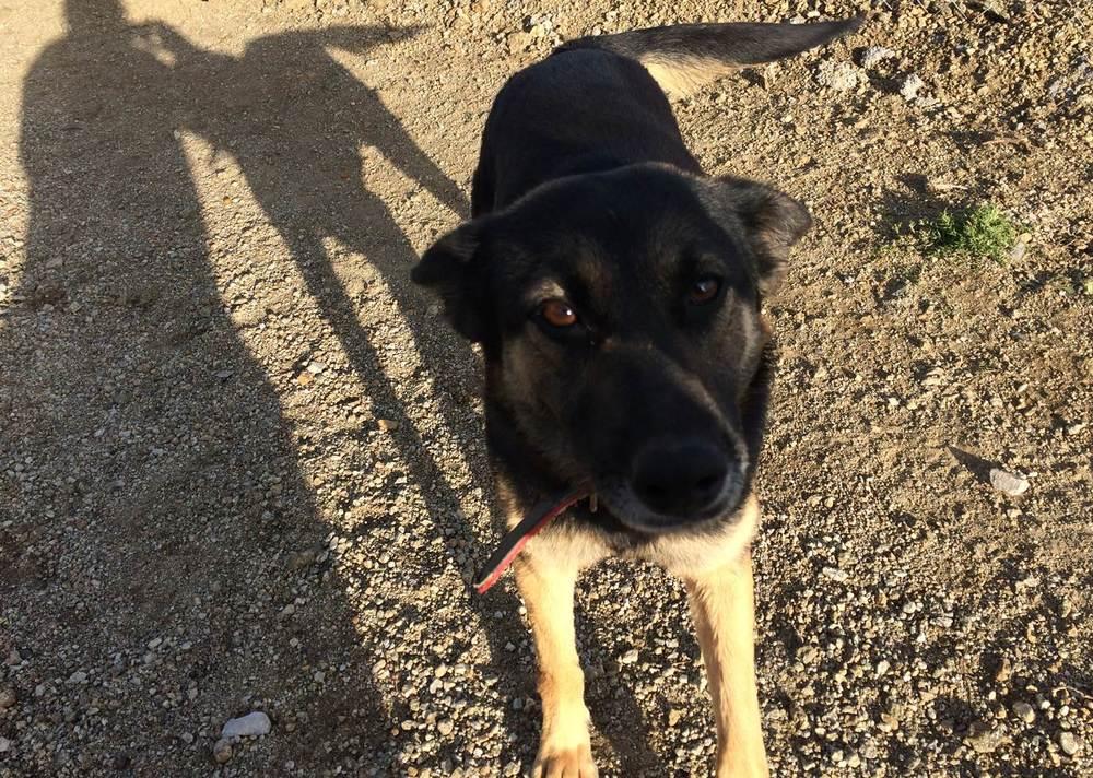 Suzy German sheperd mix | Mykonos dog rescue and adoption | Vassilis Antoniades | Katerina Papageorgiou