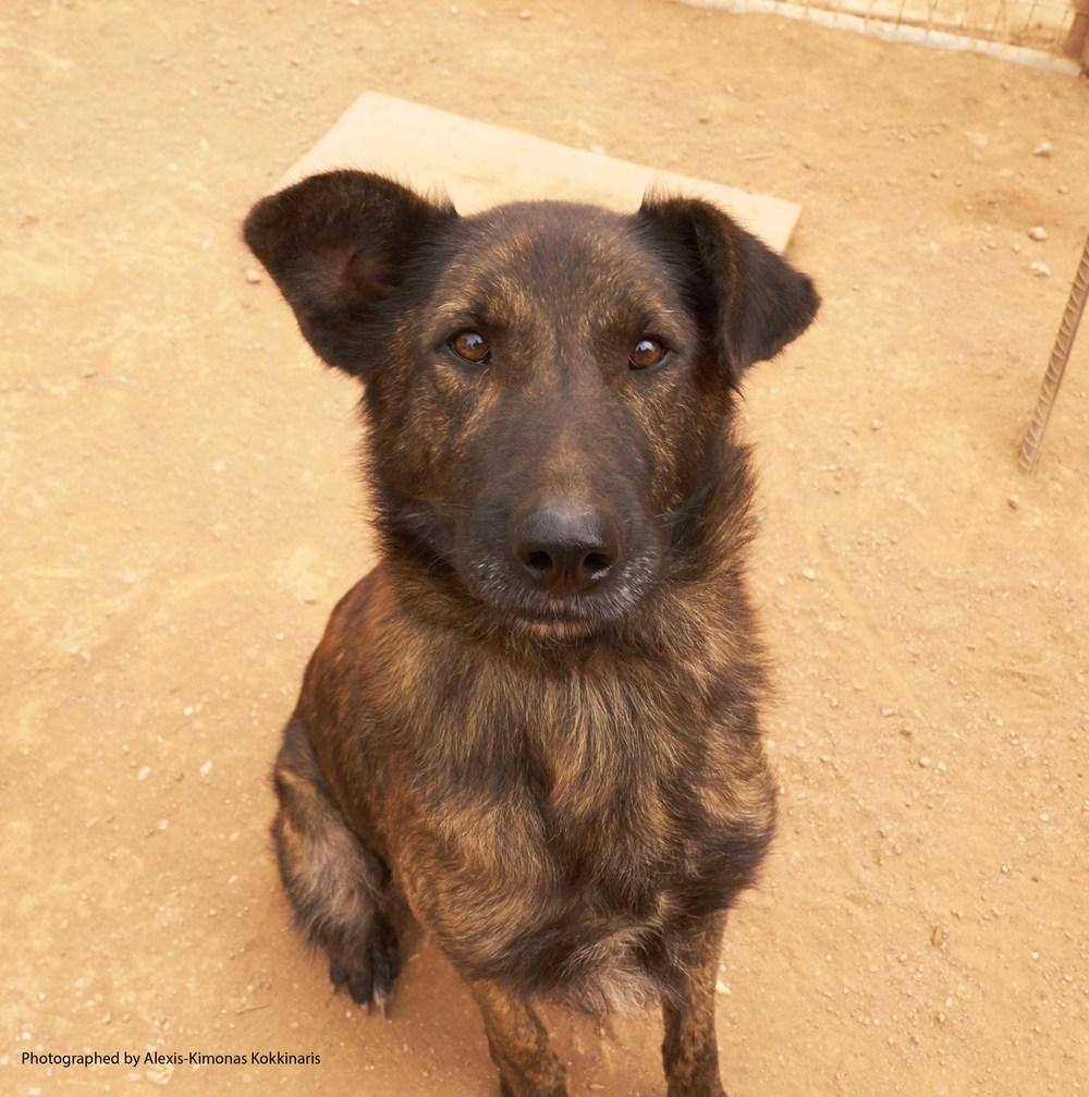 Beba German sheperd mix | Mykonos dog rescue and adoption | Ian Huschle
