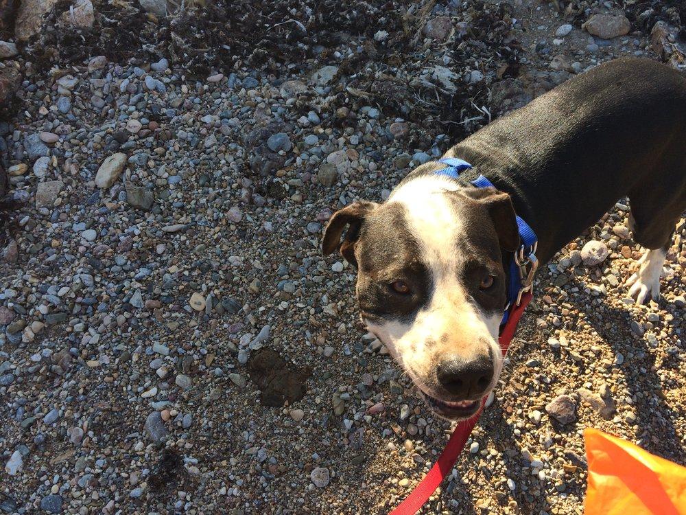 Julio Pitbull mix | Mykonos dog rescue and adoption
