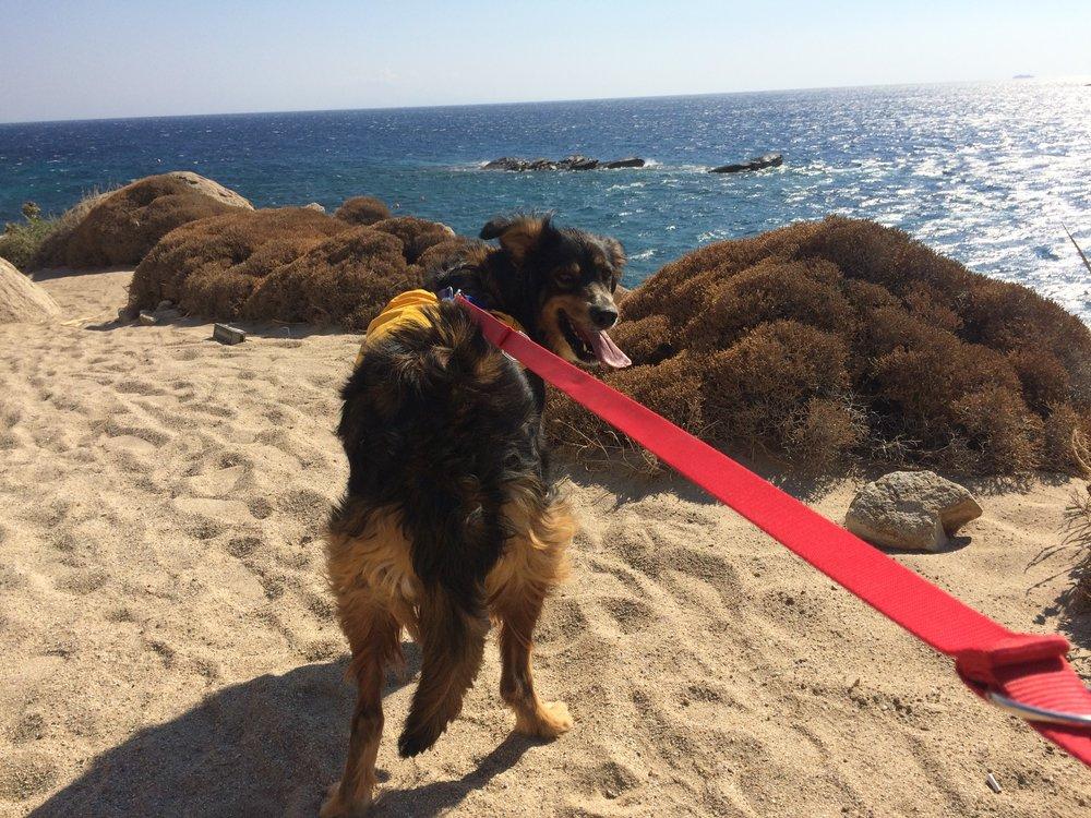 Star mix breed   Mykonos dog rescue and adoption   Nicolas Ioannidis Belvedere Hotel Mykonos