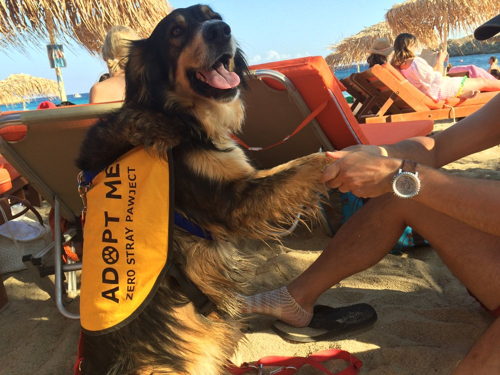 Star mix breed | Mykonos dog rescue and adoption | Nicolas Ioannidis Belvedere Hotel Mykonos