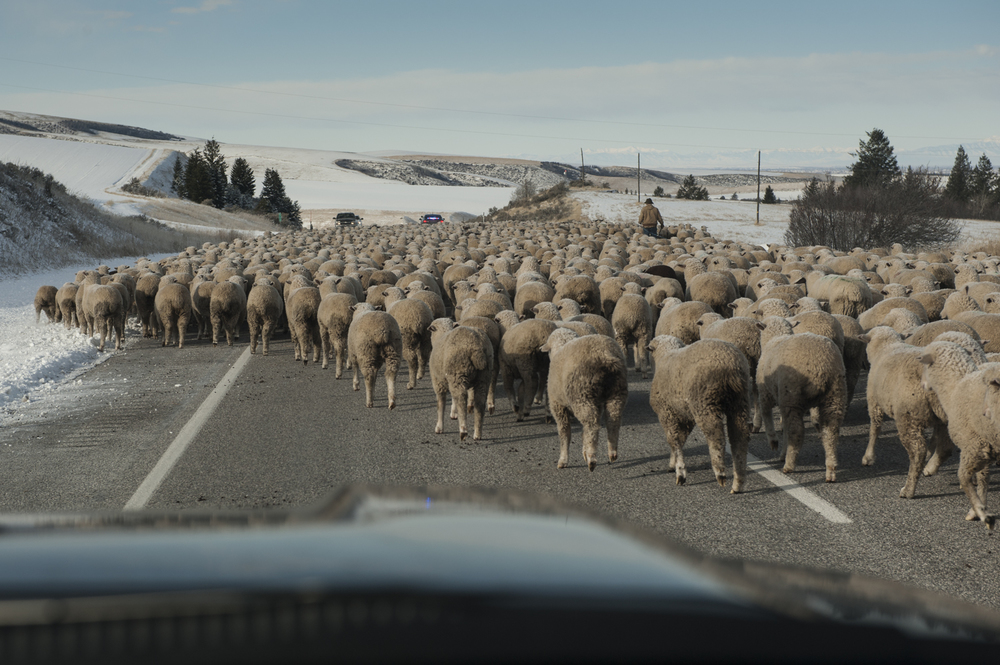 Sheep blocking the road in Idaho