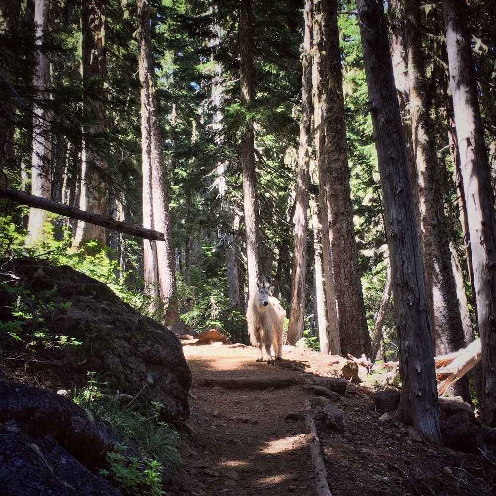 This mountain goat didn't particularly want to share the trail.  However, he did eventually loop around us and head on down the trail.