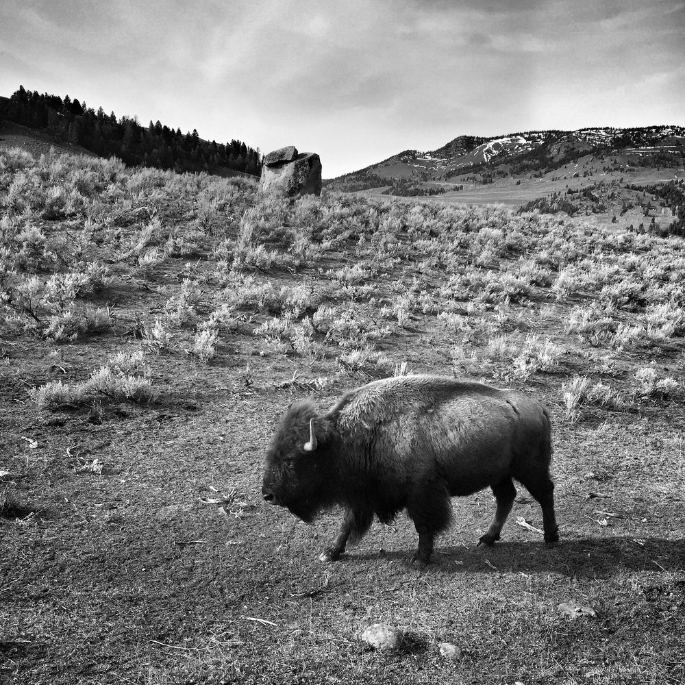 so many bison!  (Heather - iPhone)