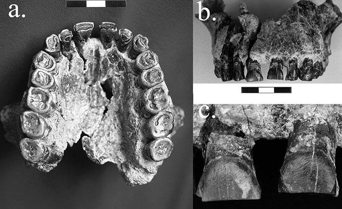 a. Occlusal of Maxillary arch of Homo habilis 1.8 million years.  b. Frontal view of the maxilla.  c. Labial view of maxillary incisors.