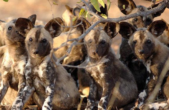 Soft brown eyes stare out from the den. The pups wait for the adults to return with food.