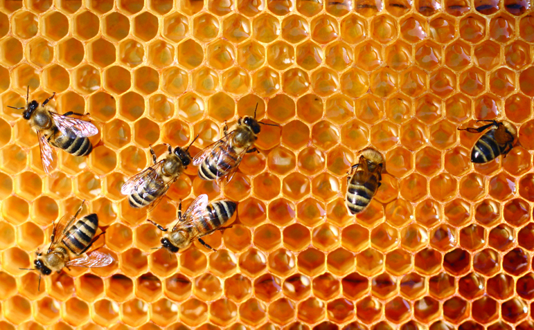 The situation with the Cape honey bee is dire. What can we do to ensure the survival of this important creature?
