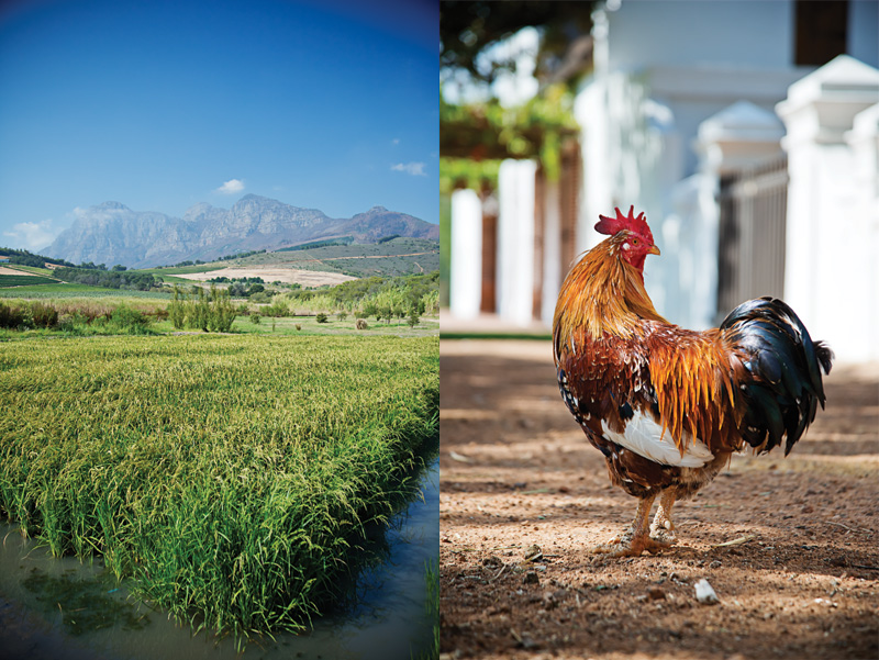 Left: The risotto rice paddy. Right: A warm, farmyard greeting from the resident rooster