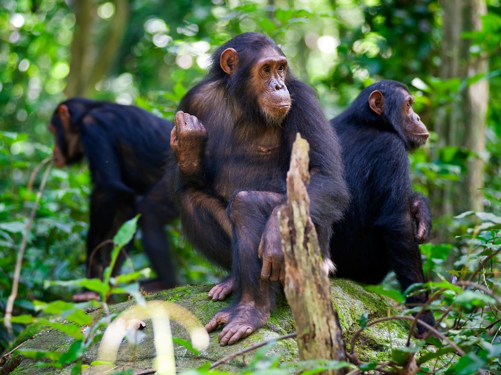 Tiptoe around Chimps in Tanzania. Image from Getty.
