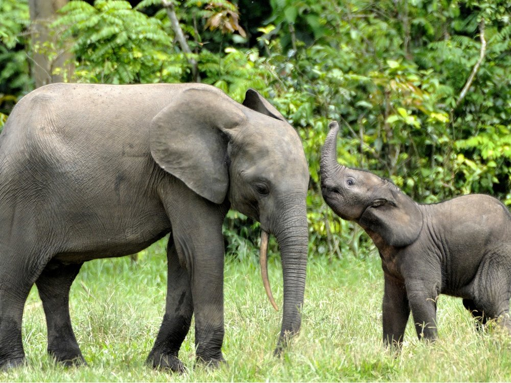 Track tiny elephants in Central African Republic. Image from Getty.