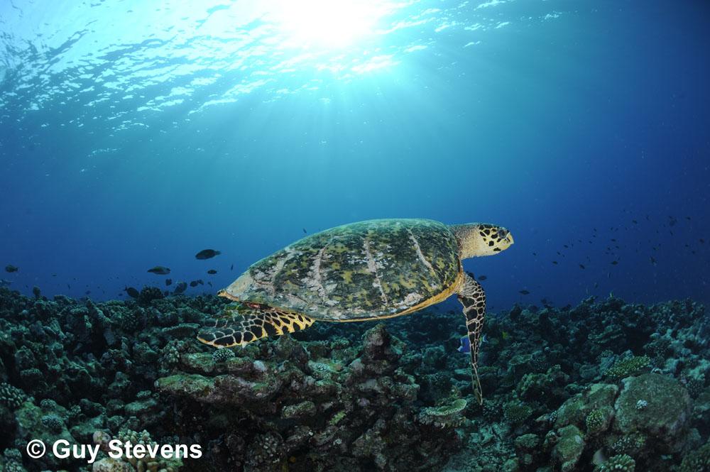Hawksbill Turtle - Sunrise.JPG