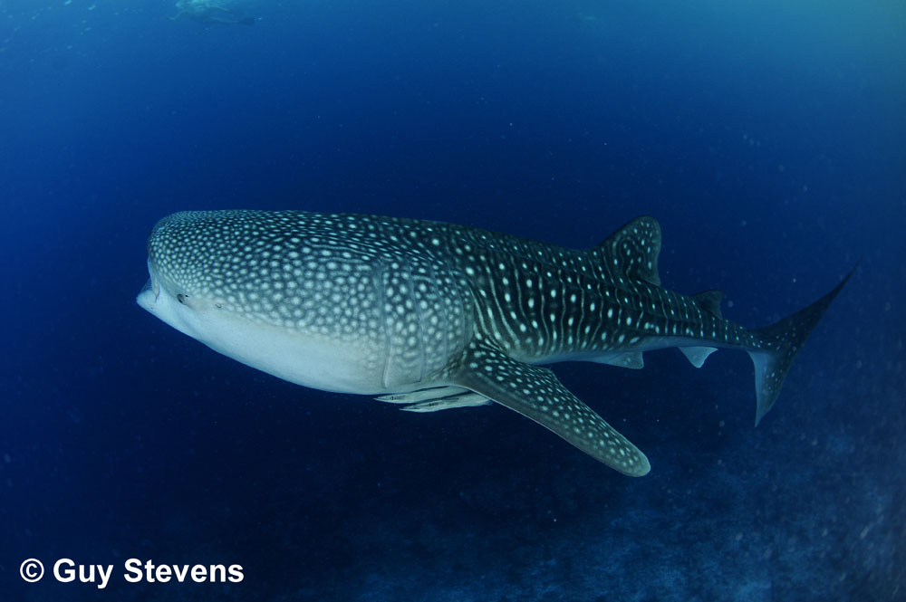 Whale Shark B.JPG