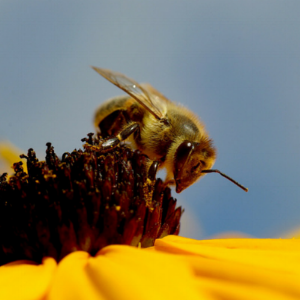 bee+on+yellow+flower-close+up.png