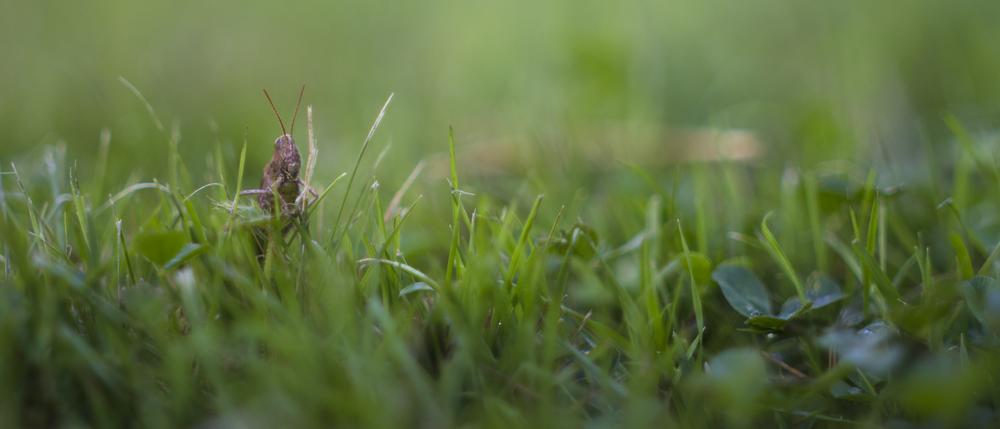 Grass Hopper 21 by 9.png