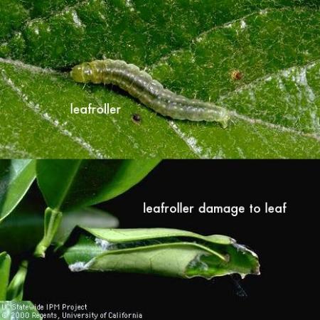 leafroller