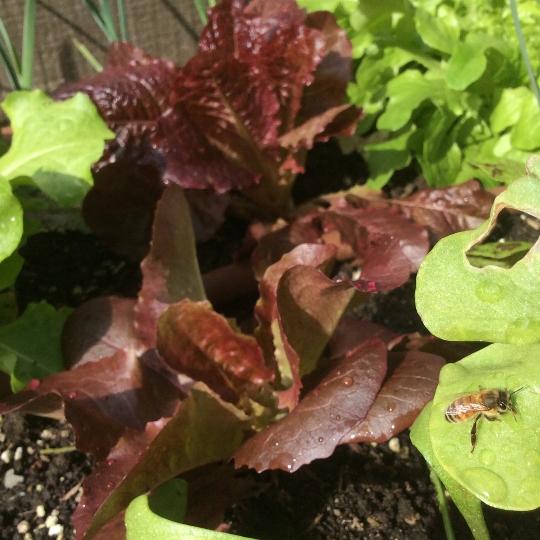 Spring bee seeking rain drops on lettuce bed.