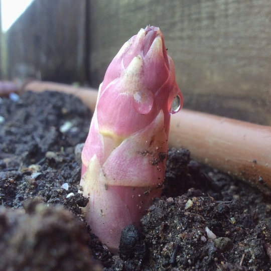 First asparagus shoot of spring