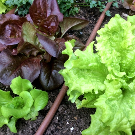 Black Seed Simpson and Avicenna lettuce