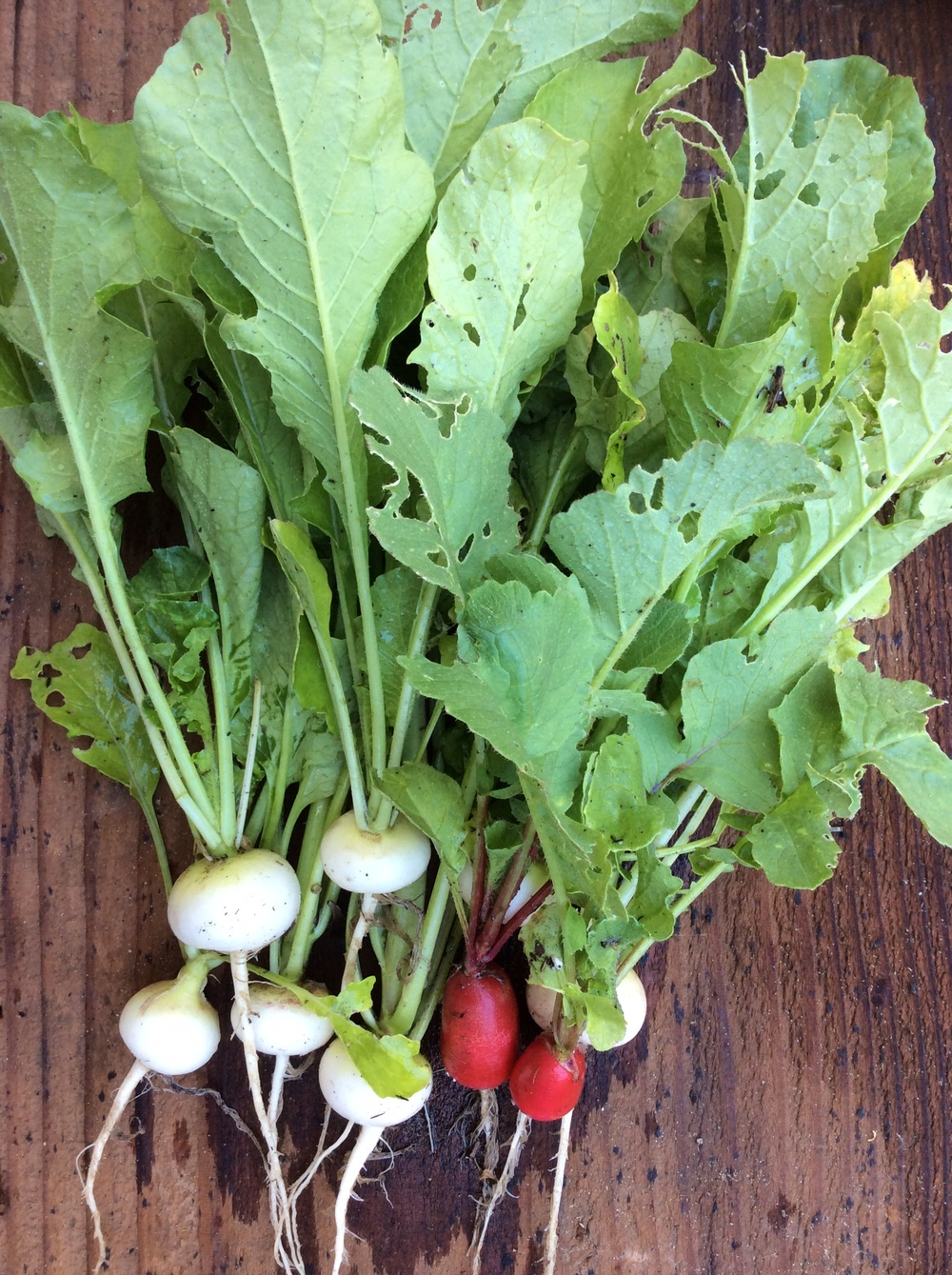 White hailstone radishes from J.L. Hudson, Seedsman and French breakfast radishes from Bountiful Gardens