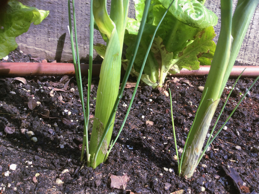 Leek bulblets developing off the main stalk - a sign the leek is trying to reproduce and will soon bolt.