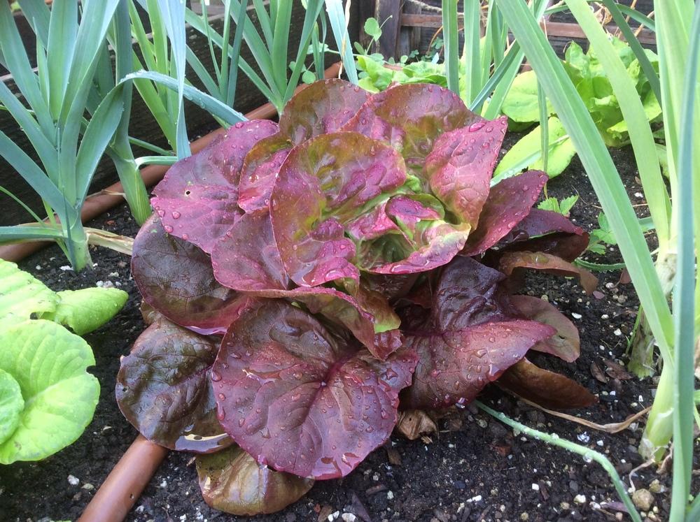 Avicenna lettuce amongst leeks