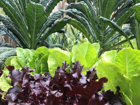 Stobbe-Buelow Lacinato kale and 2 lettuce.JPG