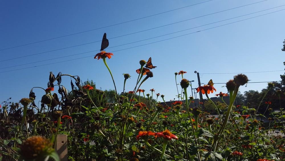 Refuge Monarchs Migrating