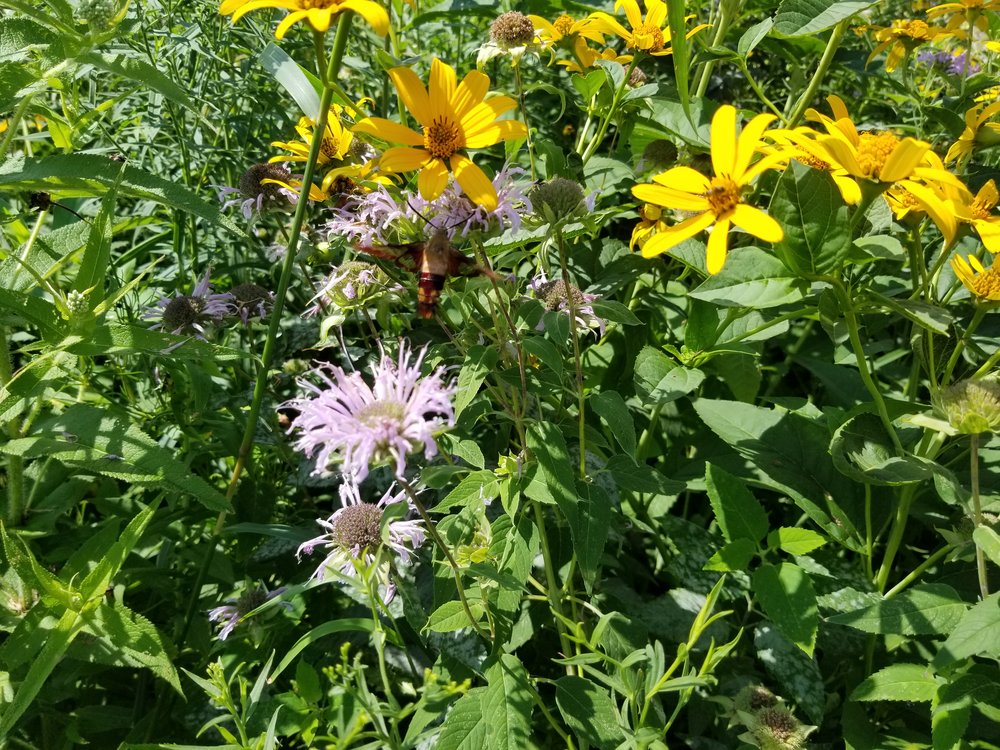 Pollinator meadow development