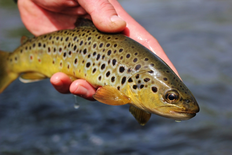 The first Czech brown trout I caught during practice for the 2014 World Championships.
