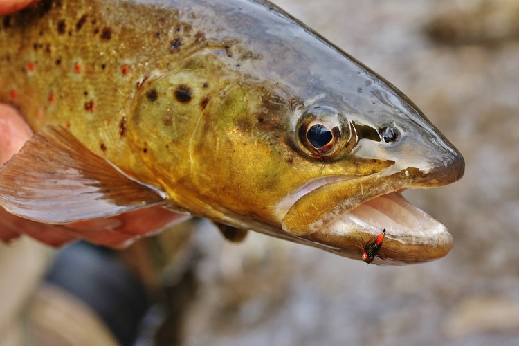 A Utah brown that fell to the Blowtorch on a frigid Black Friday.