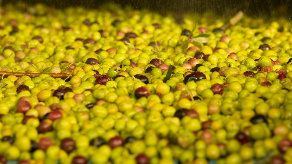Spain's most popular olive: Picual - Photo: Dept. Multimedia /©ICEX