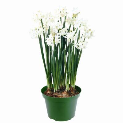 6%22 paperwhite plant.jpg