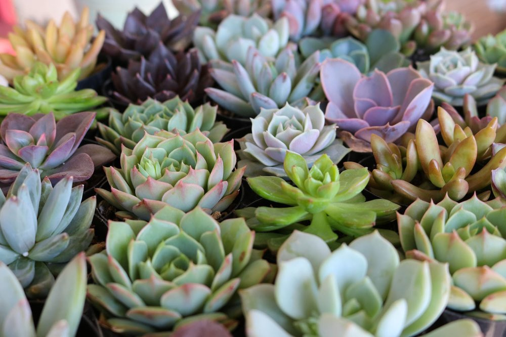 succulent arrangement: subject to season and available containers - Call for details!