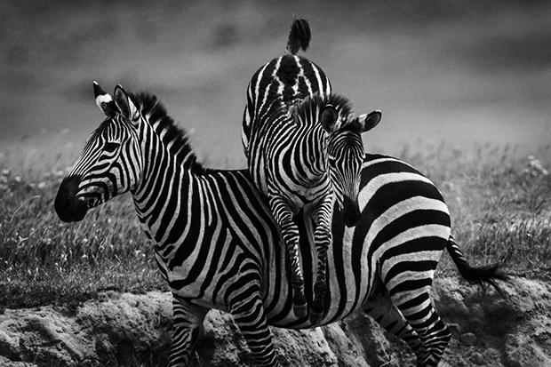 Zebra jump- Tanzania