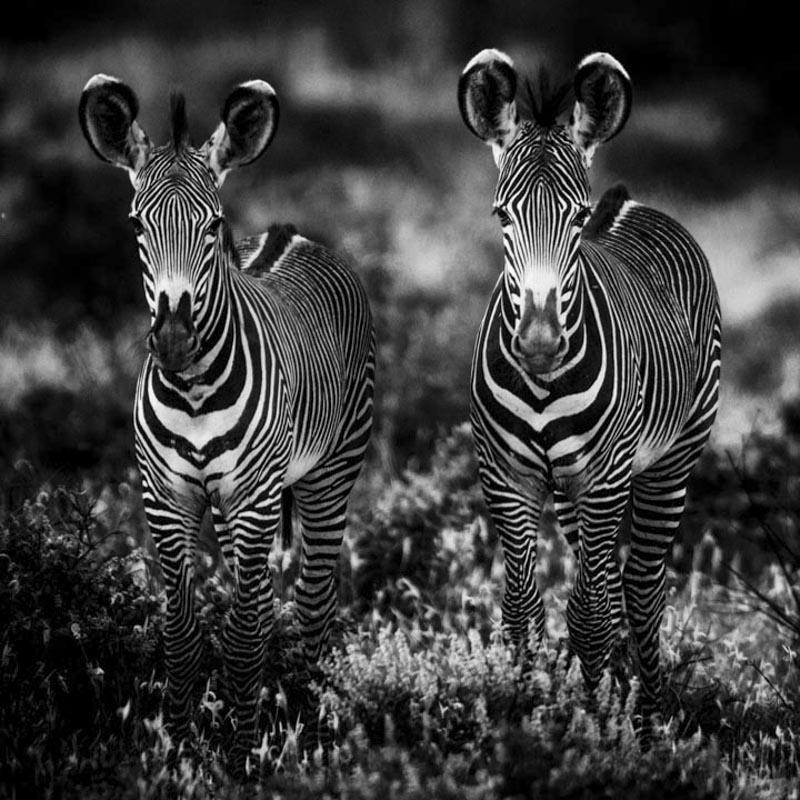 Baby zebras- Kenya