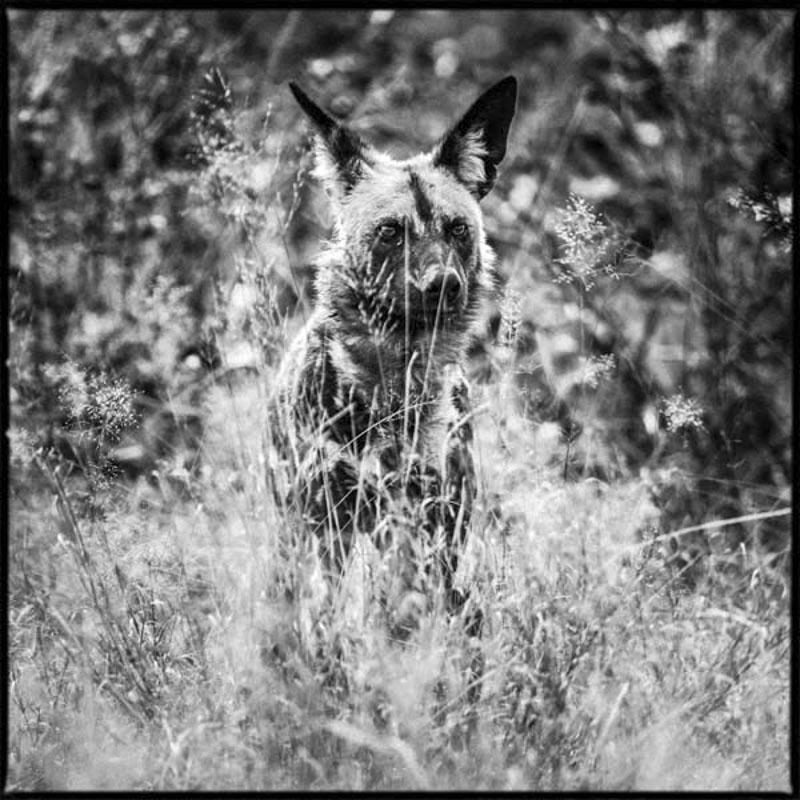 Wild dog- Botswana