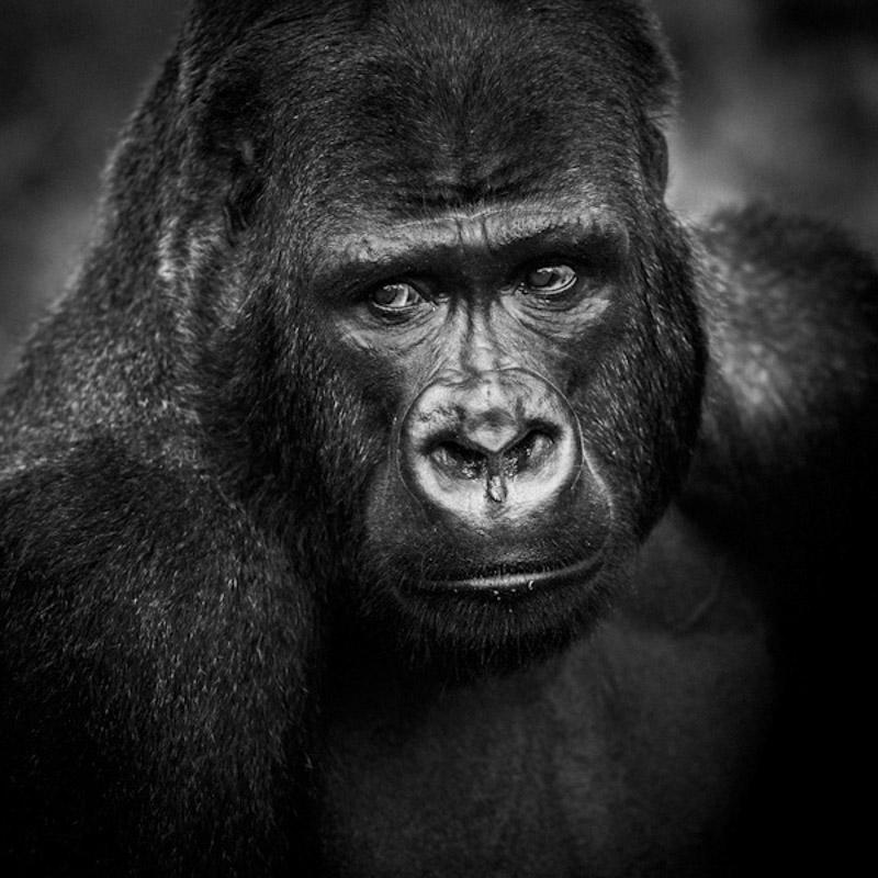 Gorilla's face